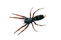 Spider, white-tailed. Lampona species, body length 16mm Stock Images