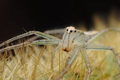 Spider White on thorn Stock Image