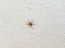 Spider on the white wall.Eight legs animal Common spider house close up simple insect in home stock images