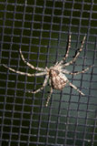 Spider on a Window Screen. Hairy Spider on a black Window Screen royalty free stock photography