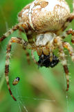 Spider With Catch Royalty Free Stock Image