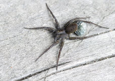 Spider-wolf (female with cocoon). Stock Photos