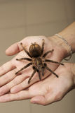 Spider on a woman hand sitting Royalty Free Stock Images