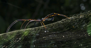 The spider-woman... 'Nephila pilipes' (golden orb-web spider) Stock Photos