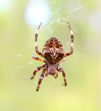 Spider. In the woods sitting on its web waiting for prey Stock Photos