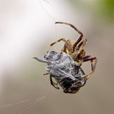 Spider at work Stock Photography