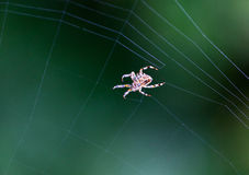 Spider working on her web. In the morning stock images