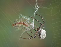 Spider wrapping centipede in web Stock Images
