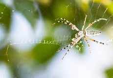 Spider wrapping hopper Royalty Free Stock Photo