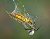 Spider wrapping hopper in web Royalty Free Stock Photography