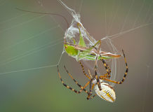 Spider wrapping hopper in web Royalty Free Stock Photo