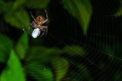 A spider wrapping up an insect. Meal time. A spider wrapping up its prey Stock Images