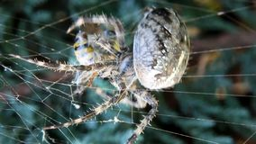 Spider wraps wasp in his spider web. Cross spider (Araneus diadematus) caught wasp in his web stock video footage