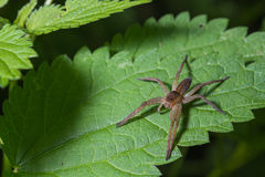 Spider (plantarius) Stock Photos