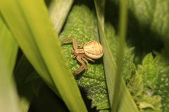Spider (Xysticus erraticus) Royalty Free Stock Photography