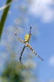 Spider with yellow and black stripes. Argiope. Royalty Free Stock Photos