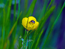 Spider in yellow flower Royalty Free Stock Images