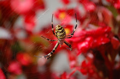 Spider. Yellow Spider in a red flower background Royalty Free Stock Images