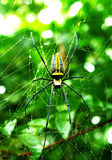 Spider with yellow stripes Stock Photo