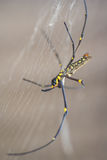 Spider. The yelow spider with  its web in the tropical area Royalty Free Stock Photos