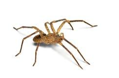 Spider Zoropsis spinimana Royalty Free Stock Image
