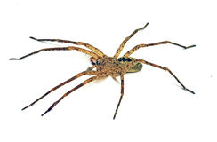 Spider Zoropsis spinimana Stock Photo