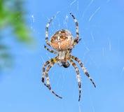 SpiderAraneusdiadematus Royalty-vrije Stock Foto's