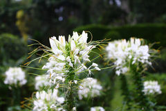 Spiderflower Cleome Stock Photos