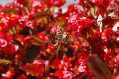 SpiderII. Yellow Spider in a red flower background Stock Photo