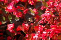 SpiderIII. Yellow Spider in a red flower background Royalty Free Stock Photos