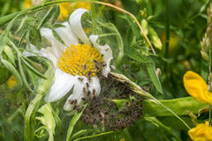 Spiderling creche or nursery. On white Daisy stock photography