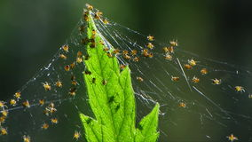 Spiderling Group stock footage