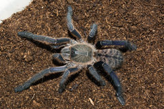 Spiderling Haplopelma-longipes Stockbilder