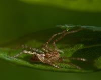 Spiderling Spinne Anyphaena-accentuata Stockfoto