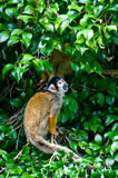 Spidermonkeys Royalty Free Stock Images