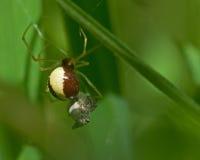 SpiderNeottiura bimaculata Stock Photo