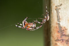 Spiders. Brown spiders on her web Royalty Free Stock Images