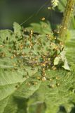 Spiders. Small spiders clumped together on common nettle leaf Stock Images