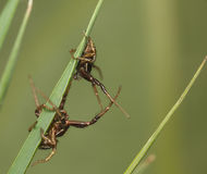 Spiders battle on grass blade Stock Image