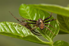 Spiders battle Stock Photography