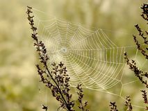 Spiders cobweb on a meadow at sunrise Stock Photography