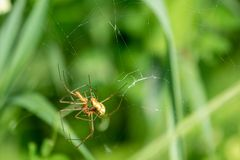 2 spiders copulate in their spider`s web out in the green royalty free stock images