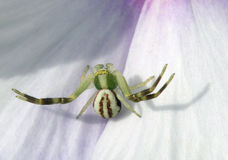 Spiders - crabs Thomisidae.Misumena vatia Royalty Free Stock Photo