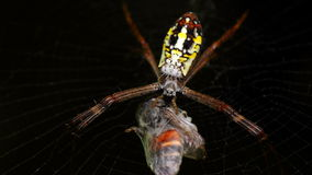 Spiders are dealing with Victims. Spiders are dealt with the Victims by fiber wrapped around the victim Stock Photos