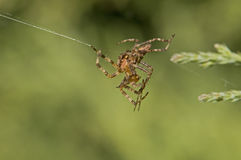 Spiders fighting  Royalty Free Stock Photos
