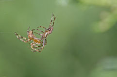 Spiders fighting Royalty Free Stock Photo
