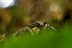 spiders Insects on the surface of green grass royalty free stock photography