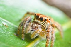 Spiders jumping orange in nature in macro view. Focus on large eyes around the head Stock Images