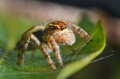 Spiders jumping orange in nature in macro view. Focus on large eyes around the head Stock Photography