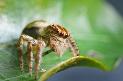 Spiders jumping orange in nature in macro view. Focus on large eyes around the head Stock Photo